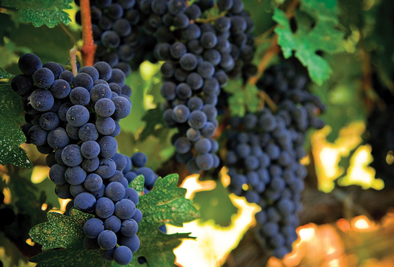 ripe grapes  u00ab prc magazine
