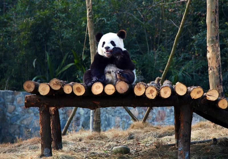 Shangri-la Panda
